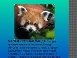 МАЛАЯ КРАСНАЯ ПАНДА. Cегодня красную панду в естественной среде обитания можн