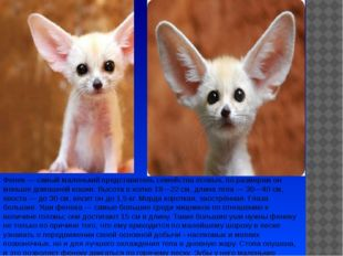 Фенек— самый маленький представитель семейства псовых, по размерам он меньше