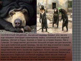 СОЛНЕЧНЫЙ МЕДВЕДЬ. Малайский медведь бируанг, или, как его еще называют благо