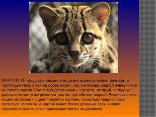 МАРГАЙ. От «родственников» этих диких кошек отличают размеры и пропорции тела