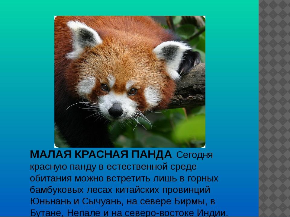 МАЛАЯ КРАСНАЯ ПАНДА. Cегодня красную панду в естественной среде обитания можн...