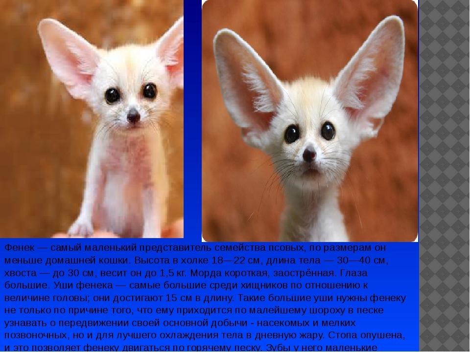 Фенек— самый маленький представитель семейства псовых, по размерам он меньше...