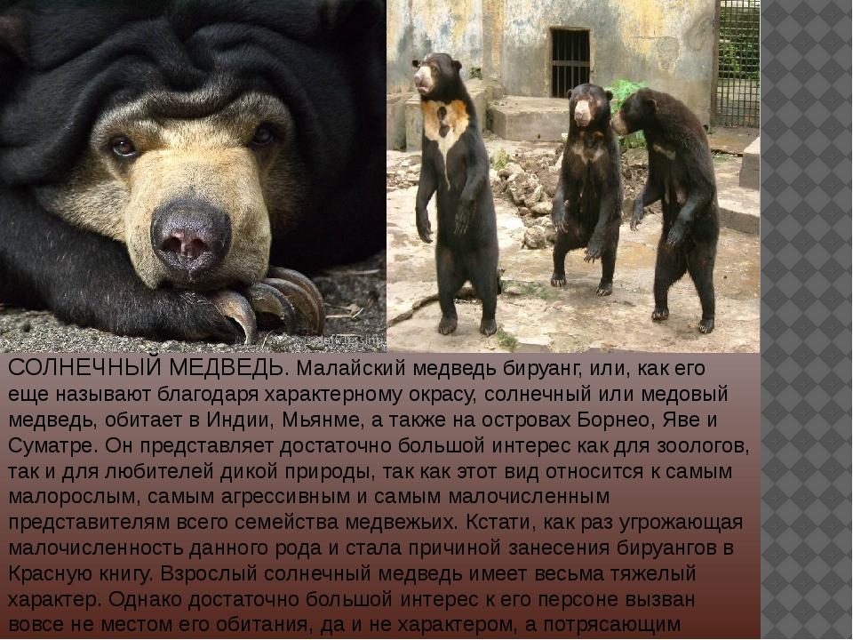 СОЛНЕЧНЫЙ МЕДВЕДЬ. Малайский медведь бируанг, или, как его еще называют благо...