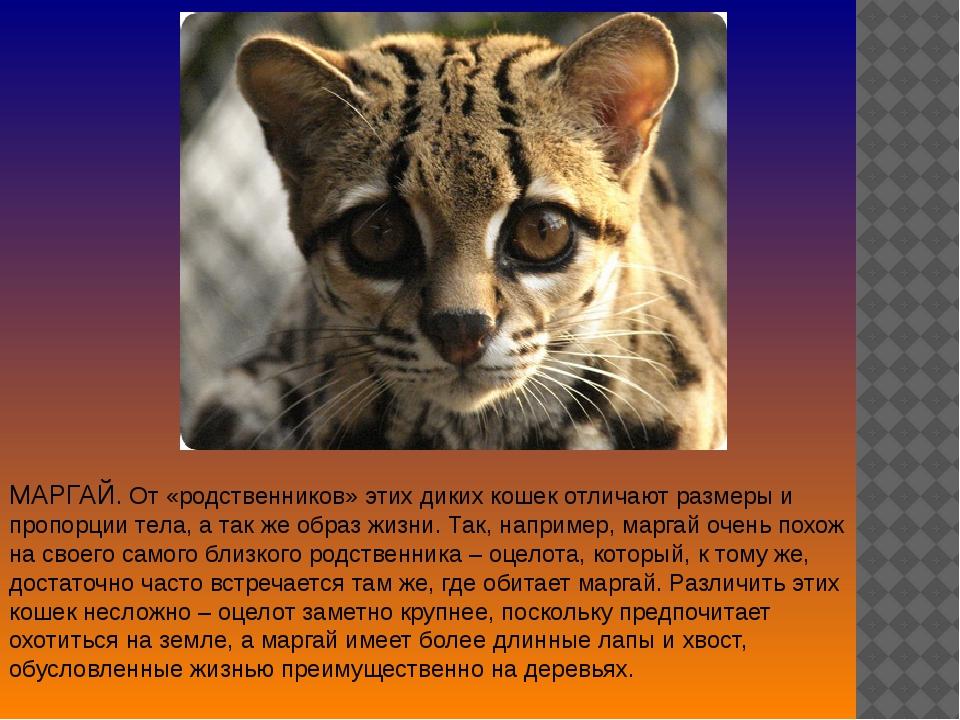 МАРГАЙ. От «родственников» этих диких кошек отличают размеры и пропорции тела...