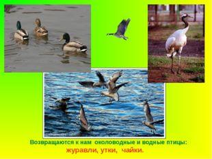 Возвращаются к нам околоводные и водные птицы: журавли, утки, чайки.