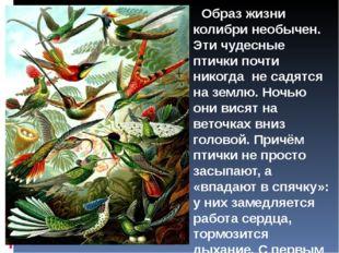 Образ жизни колибри необычен. Эти чудесные птички почти никогда не садятся н