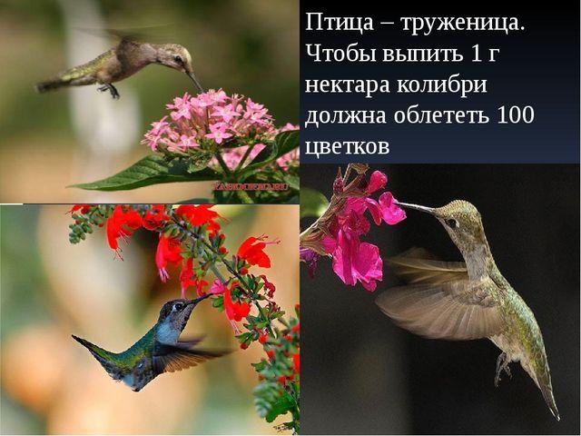 Птица – труженица. Чтобы выпить 1 г нектара колибри должна облететь 100 цветков
