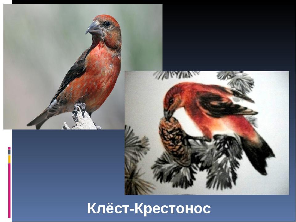 Клёст-Крестонос