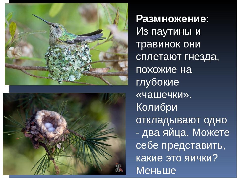 Размножение: Из паутины и травинок они сплетают гнезда, похожие на глубокие «...