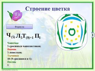 Формула Чашечка 5 сросшихся чашелистиков; Венчик 5 лепестков; Тычинки 10 (9 с