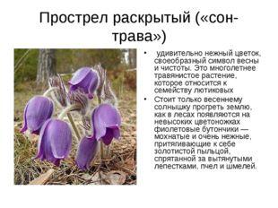 Прострел раскрытый («сон-трава») удивительно нежный цветок, своеобразный сим