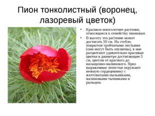 Пион тонколистный (воронец, лазоревый цветок) Красивое многолетнее растение,
