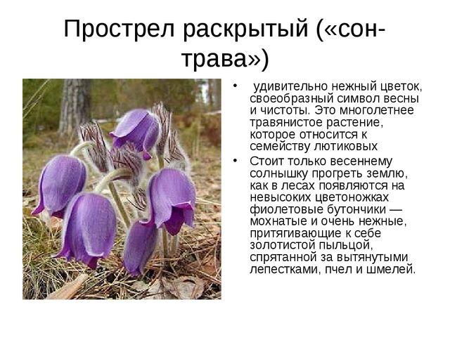 Прострел раскрытый («сон-трава») удивительно нежный цветок, своеобразный сим...