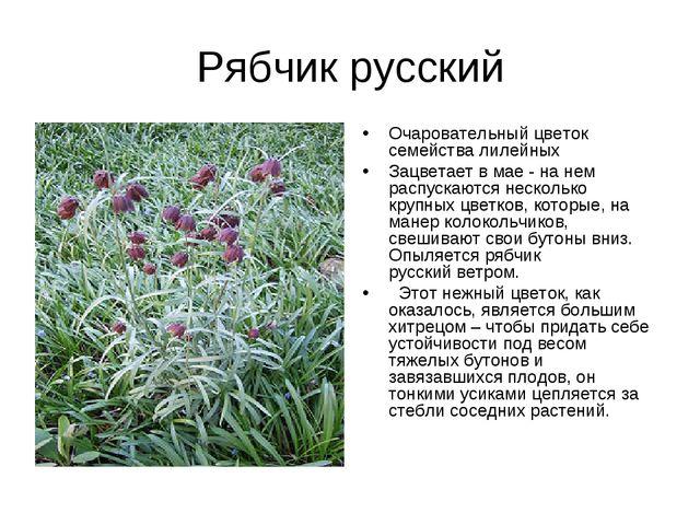 Рябчик русский Очаровательный цветок семейства лилейных Зацветает в мае - на...