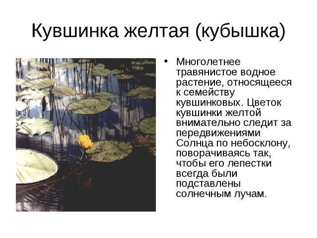 Кувшинка желтая (кубышка) Многолетнее травянистое водное растение, относящеес...