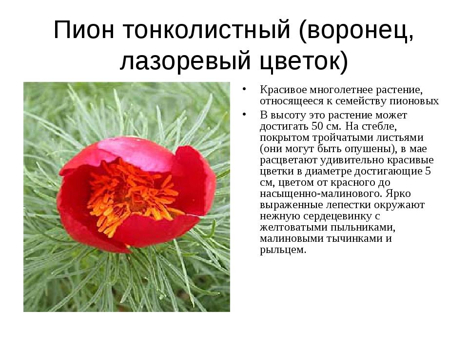Пион тонколистный (воронец, лазоревый цветок) Красивое многолетнее растение,...