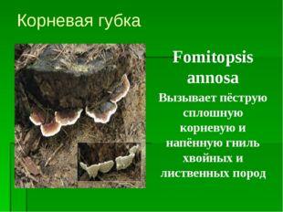 Корневая губка Fomitopsis annosa Вызывает пёструю сплошную корневую и напённу