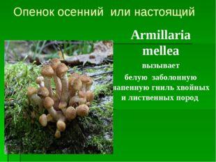 Опенок осенний или настоящий Armillaria mellea вызывает белую заболонную напе