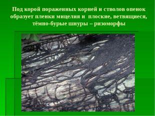 Под корой пораженных корней и стволов опенок образует пленки мицелия и плоски