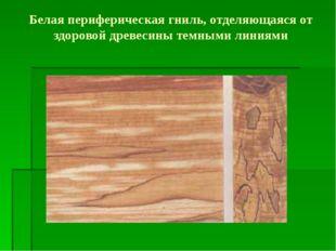 Белая периферическая гниль, отделяющаяся от здоровой древесины темными линиями