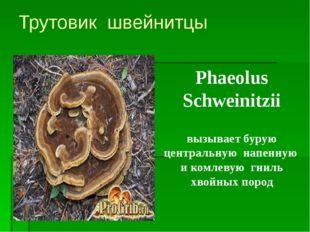 Трутовик швейнитцы Phaeolus Schweinitzii вызывает бурую центральную напенную