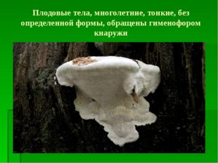 Плодовые тела, многолетние, тонкие, без определенной формы, обращены гименофо