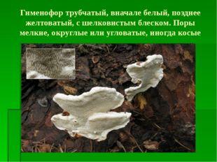 Гименофор трубчатый, вначале белый, позднее желтоватый, с шелковистым блеском