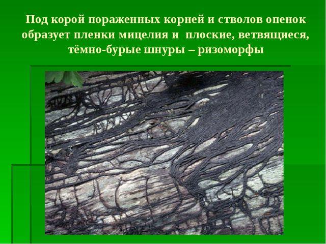Под корой пораженных корней и стволов опенок образует пленки мицелия и плоски...