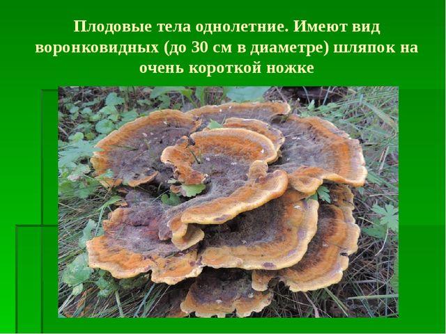 Плодовые тела однолетние. Имеют вид воронковидных (до 30 см в диаметре) шляпо...