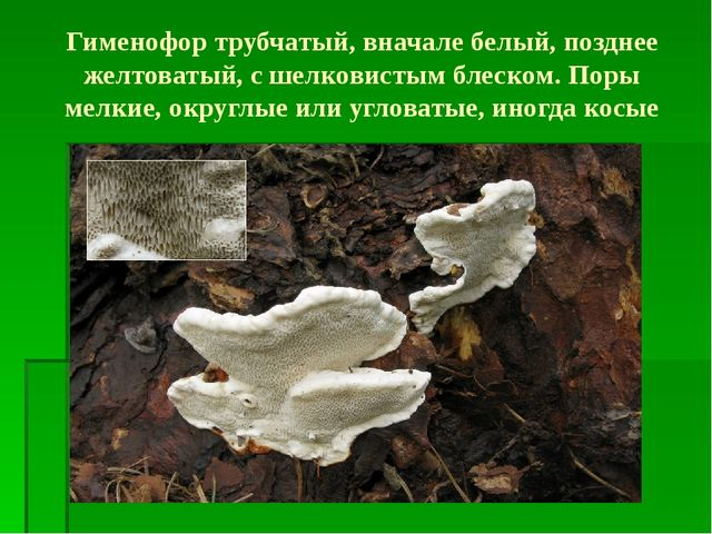 Гименофор трубчатый, вначале белый, позднее желтоватый, с шелковистым блеском...