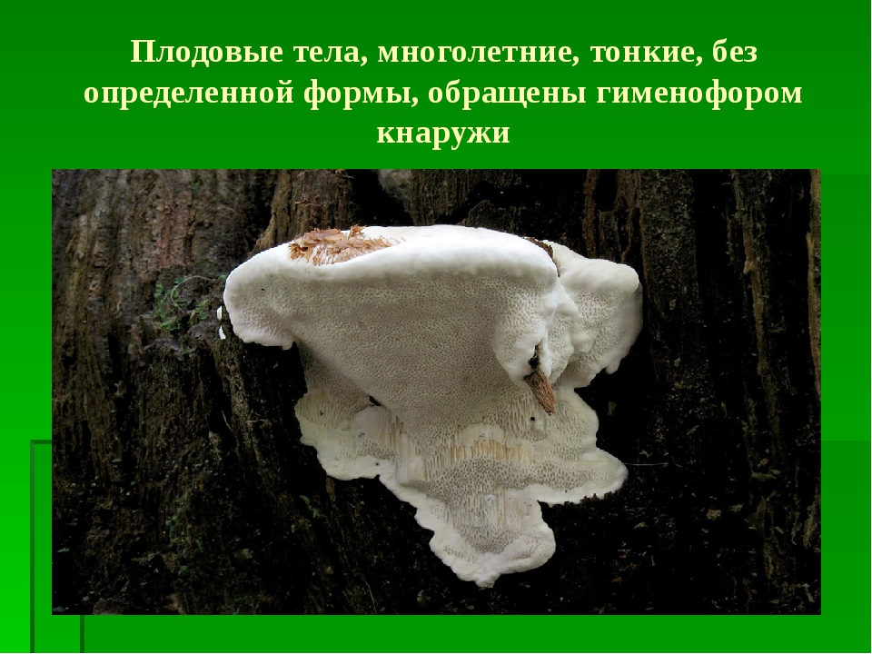 Плодовые тела, многолетние, тонкие, без определенной формы, обращены гименофо...