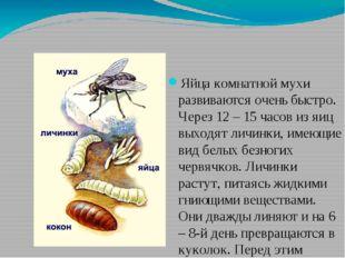 Яйца комнатной мухи развиваются очень быстро. Через 12 – 15 часов из яиц выхо