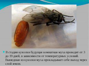 В стадии куколки будущая комнатная муха проводит от 3 до 19 дней, в зависимос