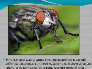 Ротовые органы комнатные мухи превратились в мягкий хоботок, с помощью которо