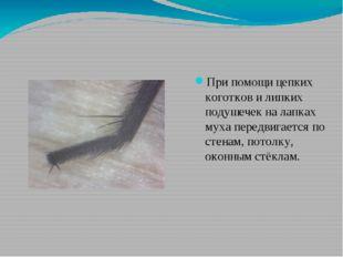 При помощи цепких коготков и липких подушечек на лапках муха передвигается по