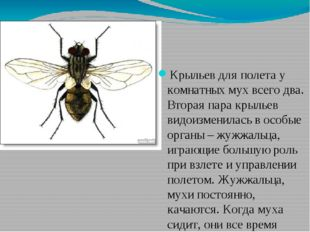 Крыльев для полета у комнатных мух всего два. Вторая пара крыльев видоизменил