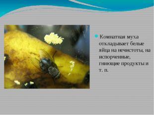 Комнатная муха откладывает белые яйца на нечистоты, на испорченные, гниющие п