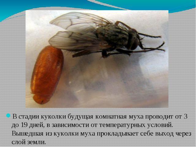 В стадии куколки будущая комнатная муха проводит от 3 до 19 дней, в зависимос...