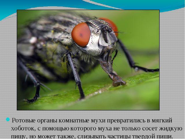 Ротовые органы комнатные мухи превратились в мягкий хоботок, с помощью которо...