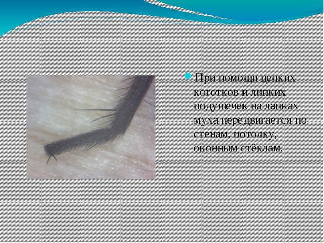 При помощи цепких коготков и липких подушечек на лапках муха передвигается по...