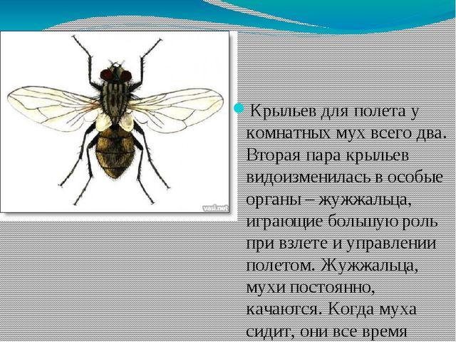 Крыльев для полета у комнатных мух всего два. Вторая пара крыльев видоизменил...