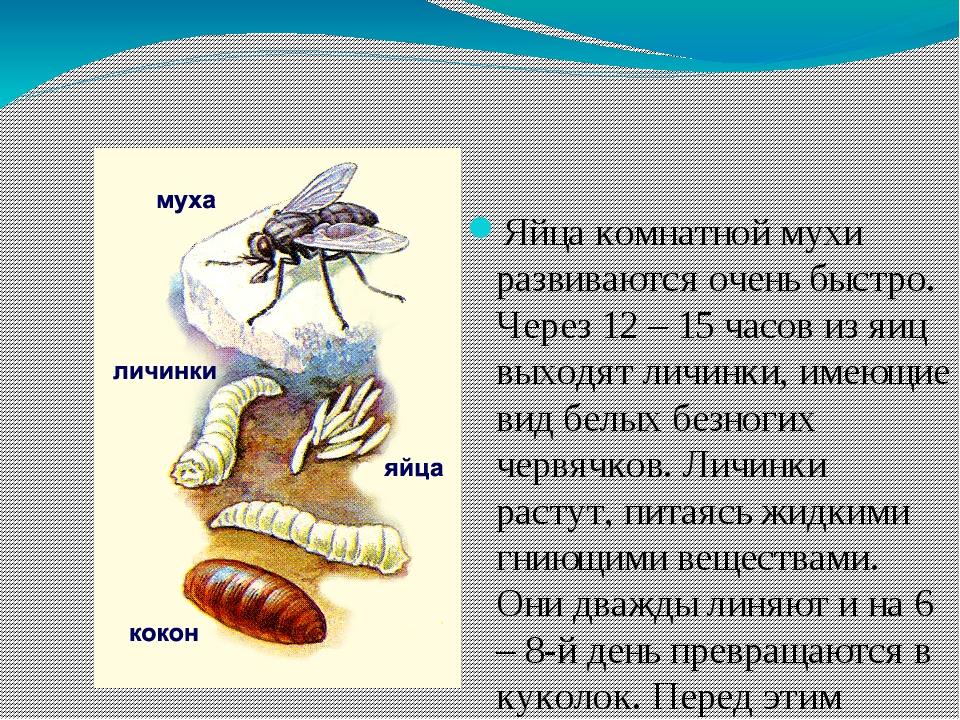 Яйца комнатной мухи развиваются очень быстро. Через 12 – 15 часов из яиц выхо...