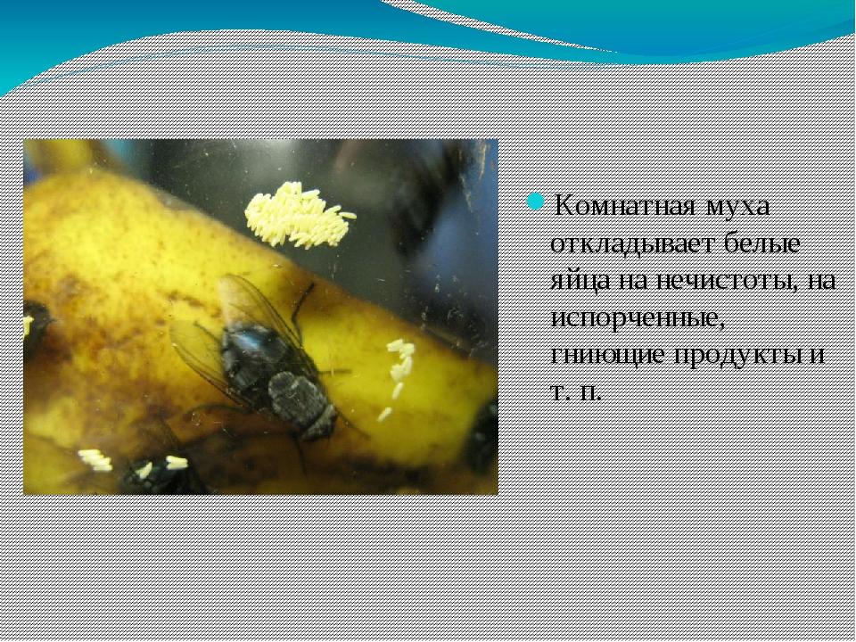 Комнатная муха откладывает белые яйца на нечистоты, на испорченные, гниющие п...