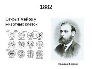 1882 Открыт мейоз у животных клеток Вальтер Флеминг Немецкий ученый Вальтер Ф