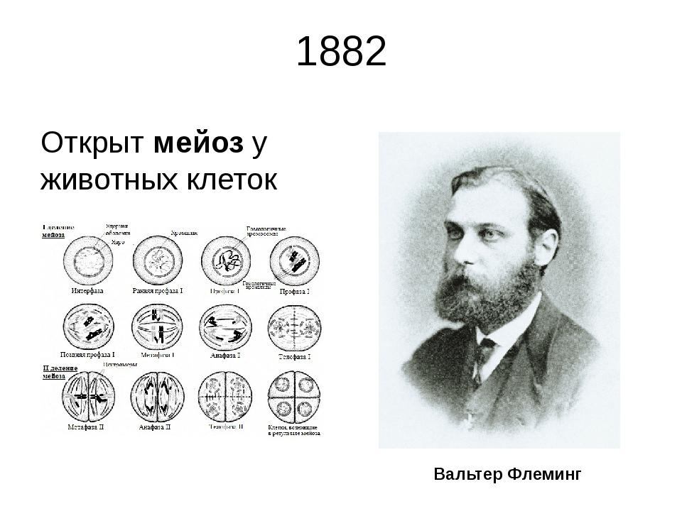 1882 Открыт мейоз у животных клеток Вальтер Флеминг Немецкий ученый Вальтер Ф...