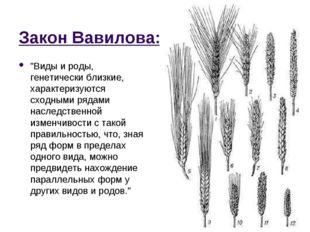 """Закон Вавилова: """"Виды и роды, генетически близкие, характеризуются сходными р"""