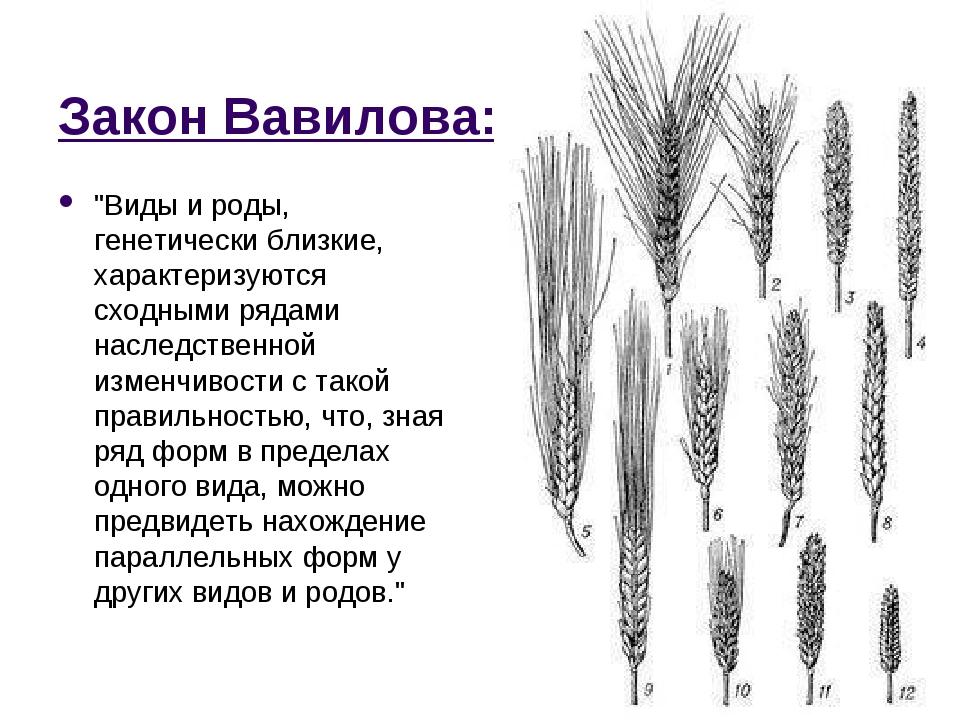 """Закон Вавилова: """"Виды и роды, генетически близкие, характеризуются сходными р..."""