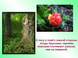В лесу у пней с южной стороны ягоды брусники, черники, морошки поспевают рань