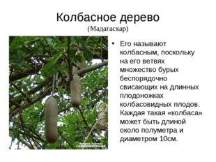 Колбасное дерево (Мадагаскар) Его называют колбасным, поскольку на его ветвях