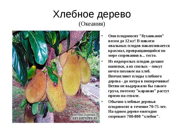 Хлебное дерево (Океания) В мякоти овальных плодов накапливается крахмал, прев...